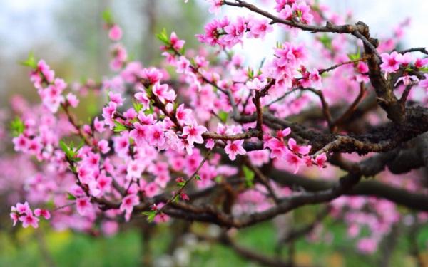 Ý tưởng kinh doanh mặt hàng cây cảnh ngày tết- Cây Đào