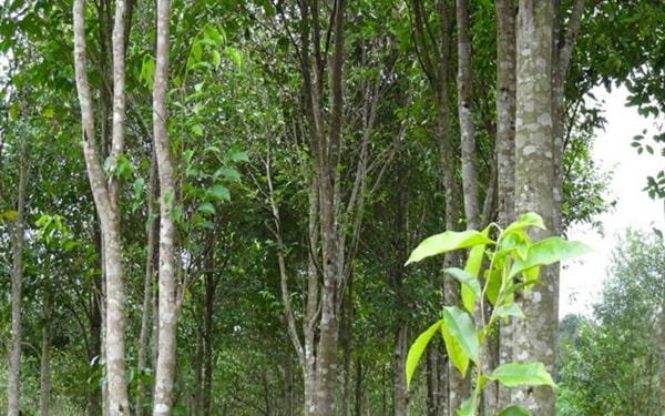 Trồng cây lấy gỗ