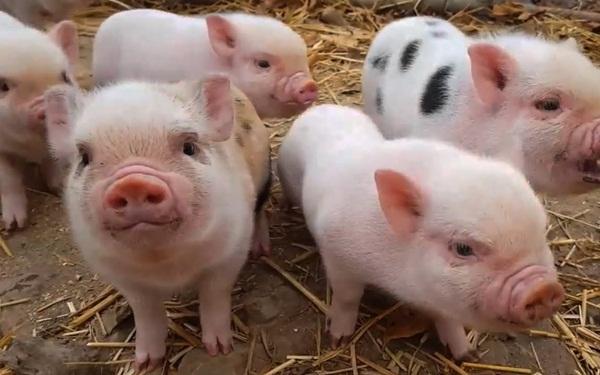 Cách làm giàu từ nông nghiệp đơn giản - Nuôi lợn