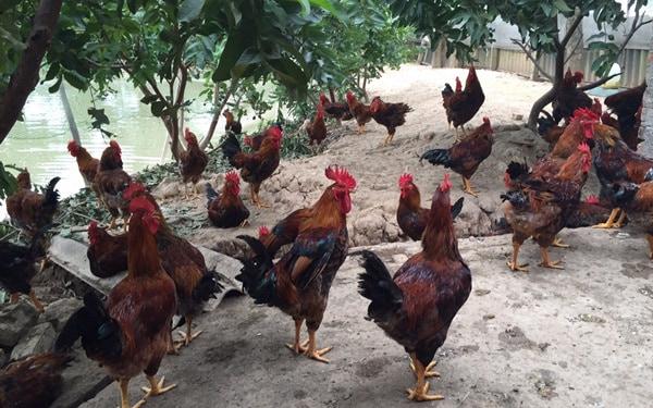 Chăn nuôi gà thả vườn