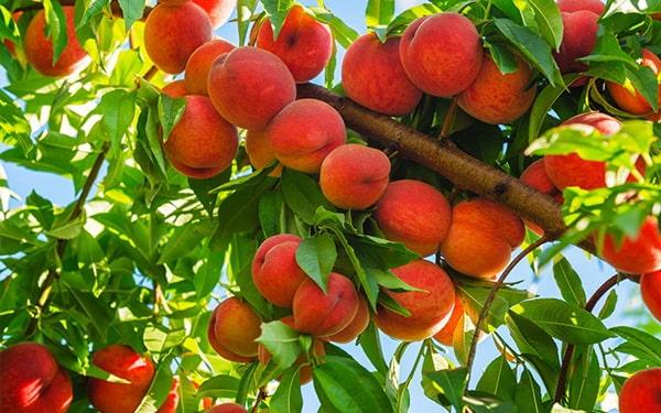 Trồng cây ăn quả có giá trị kinh tế cao - Đào tiên Nhật Bản
