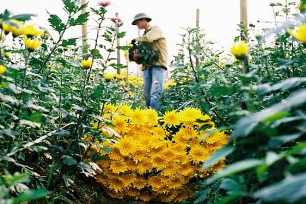 Hoa cúc Nghi Tàm nổi tiếng