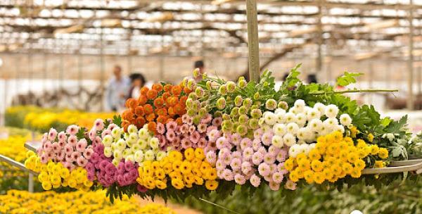 Thu gom hoa cúc tại trang trại hoa Đà Lạt giá sỉ