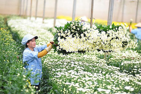 Dalat Hasfarm - cung cấp sỉ hoa tươi Đà Lạt quy mô lớn