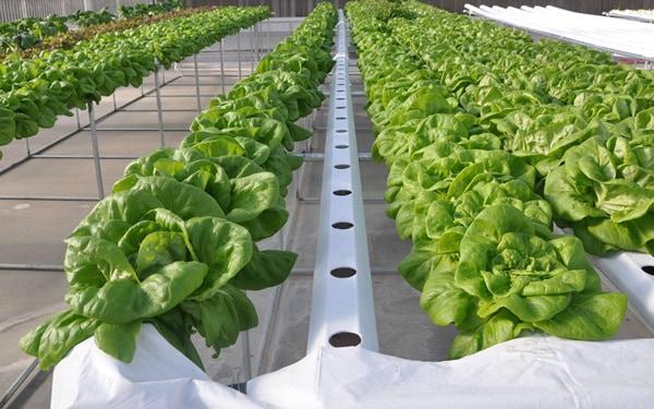 Ý tưởng khởi nghiệp trồng rau sạch - phương pháp thủy canh